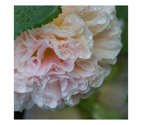 Pale-Peach-Hollyhock