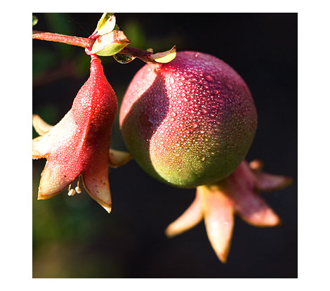 Dwarf-Pommegranate
