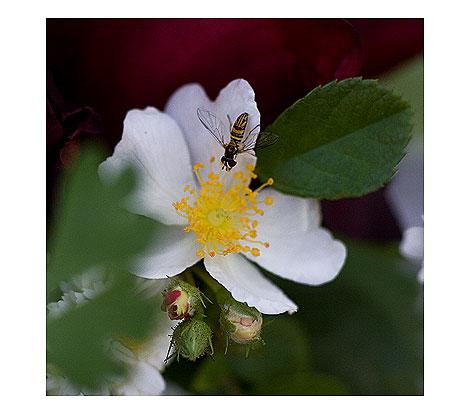 White-Single-Rose-w-Flower-Fly