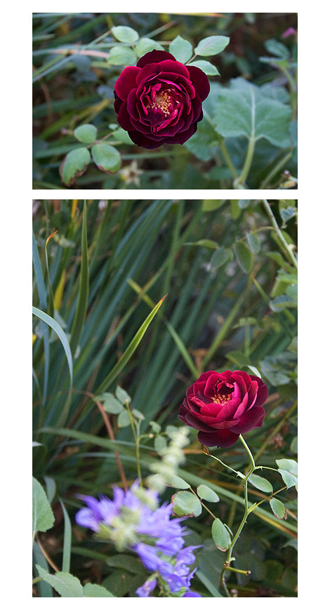 Fancis-Dubrieul-or-Barcelona-Rose