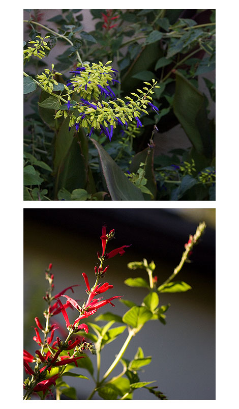 Salvia-Limelight-&-Salvia-Elegans