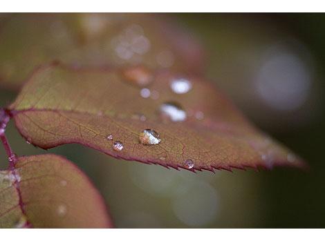 Raindrops-on-rose-leaf