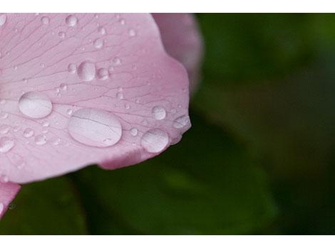 Raindrops-on-rose-petals