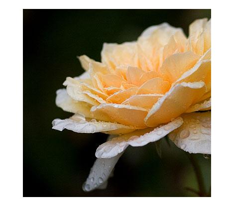 Raindrop-Rose