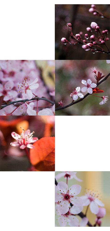 Plum-blossoms