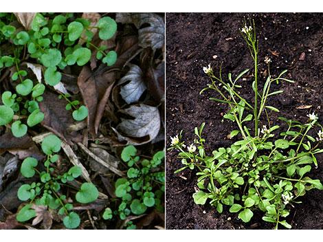 Cardamine-oligosperma-weed