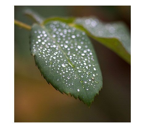 Raindrops-on-Rose-Leaves