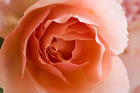 Orange-Rose