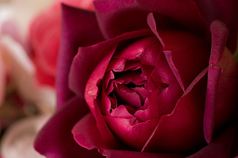 Dark-Red-Rose