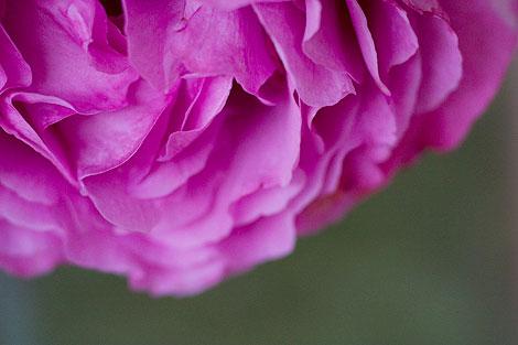 Magenta-Rose