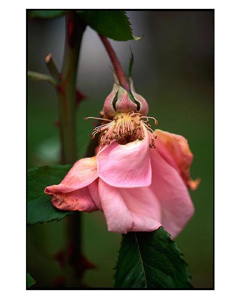 Rose-Demise-1