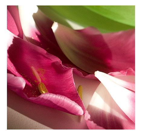 Tulip-petals