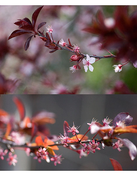 Blossoming-plum