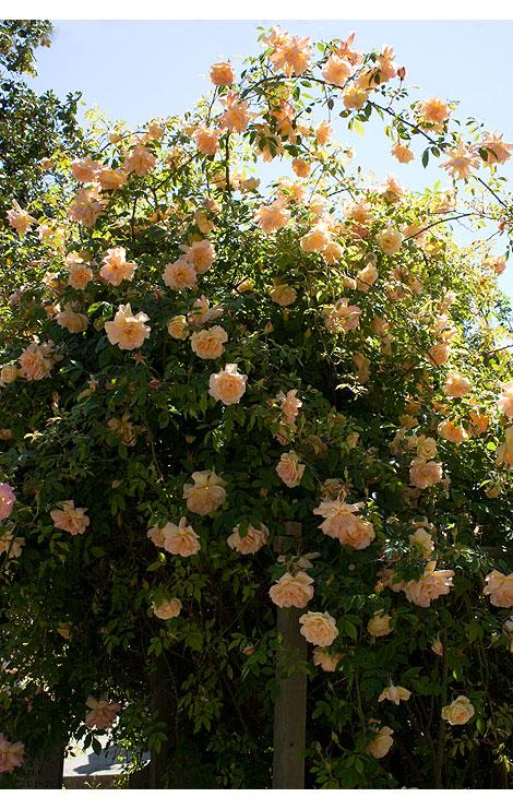 Sacramento-Cemetery-roses