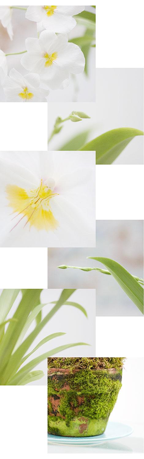 Miltonia-Pictures