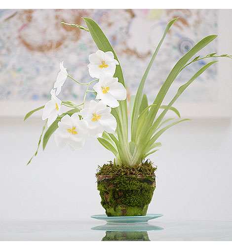 Miltonia-Orchid-Plant