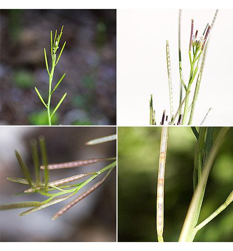Little-western-buttercress-seeds