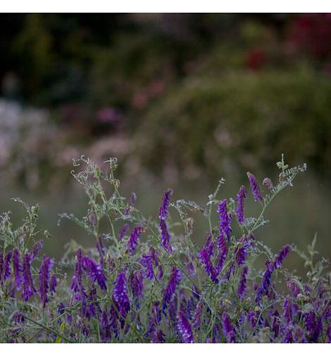 Purple-Vetch