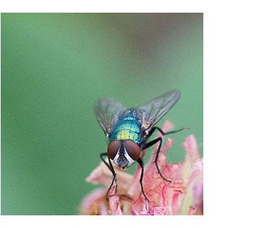Fly-close-up-copy