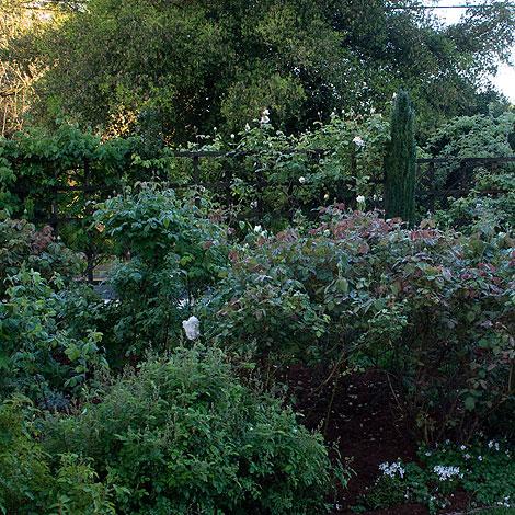Carolyn-Parker's-Rose-Garden