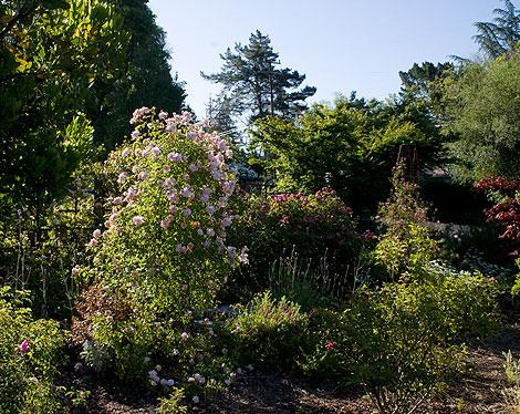 Roses-Outside-Deer-Fence