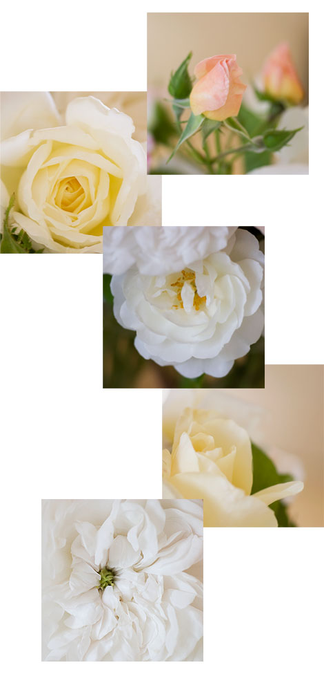The-colors-of-white-roses