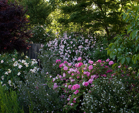 Zepherine-Drouhin,-Soaring-Spirits,-Renae-Roses