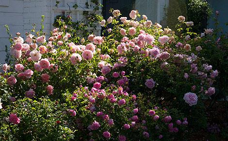 Hermosa,-Bell-Story,-pink-Gruss-an-Achen-Roses
