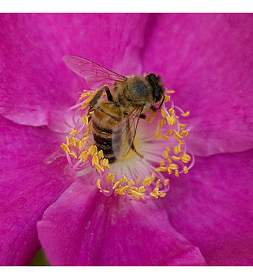 Bee-in-rose