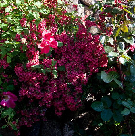 Res-diascia-and-roses