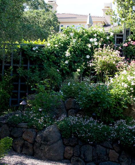 Rock-wall-roses