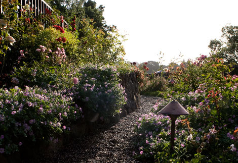 Designing a Hillside Rose Garden Part 2 - Rose Notes   470 x 323 jpeg 64kB
