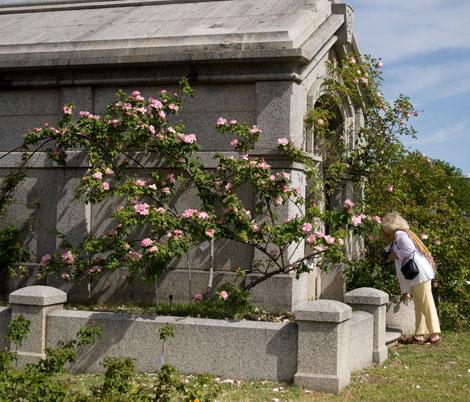 Lady-waterlo-rose-bush