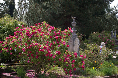Gloire-des-rosamanes-shrub
