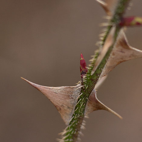 Rosa-sericea-pteracantha-growth-bud