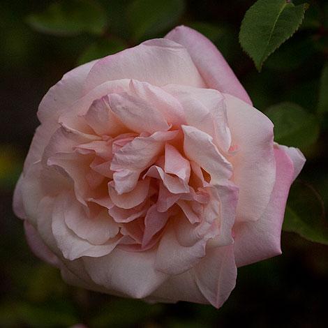 G-nabonnand-rose-2