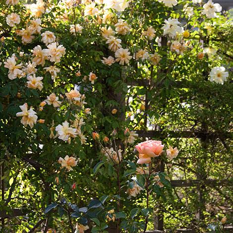 Crepescule-rose