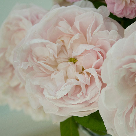 Pale-Pink-Centifolia-Rose