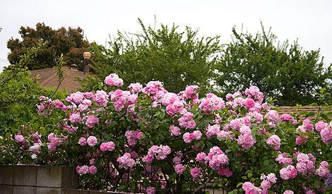 Pink-climbing-rose