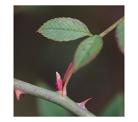 Rose-leaf-bud