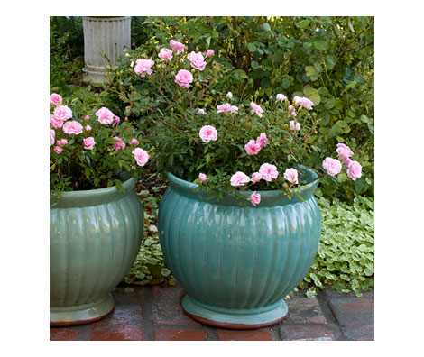 Beautiful Patio Roses