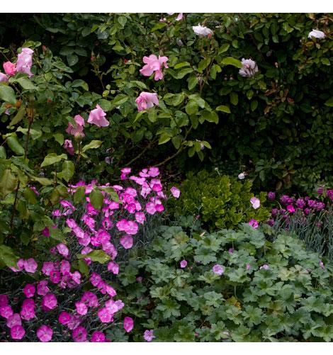 Rose-underplantings