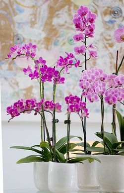 Orchids-in-white-pots