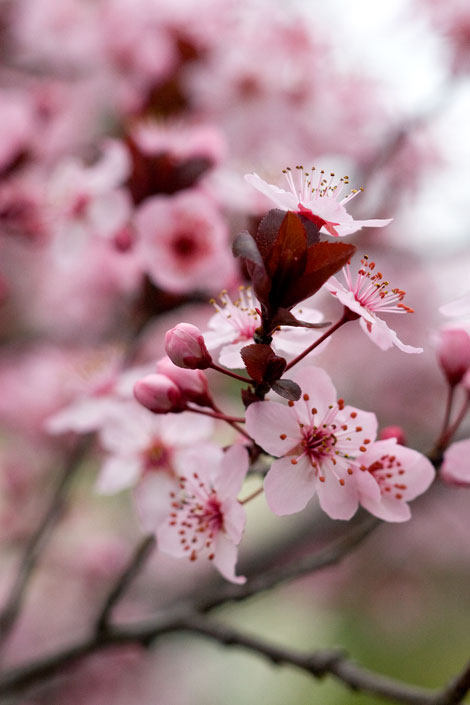 Plum-blossom-close-up