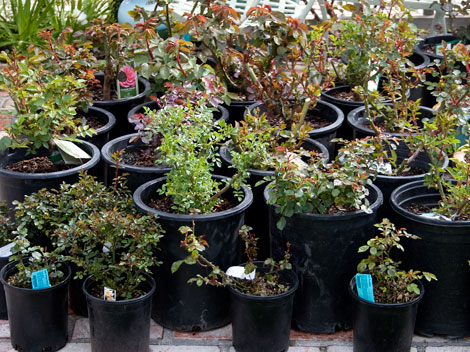 Potted-roses