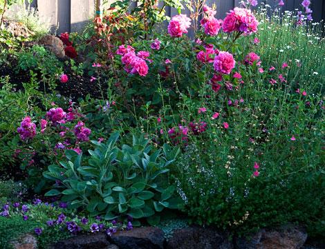 Magenta-roses