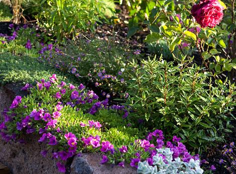 Purple-calibrachoa