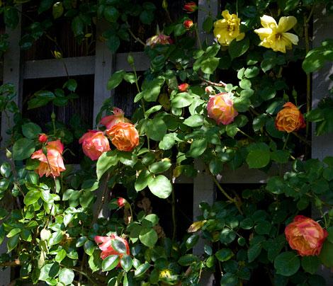 Joseph's-coat-rose