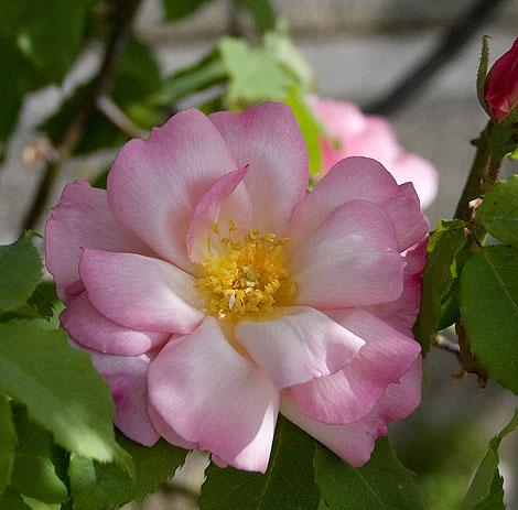 Lady-waterlo-rose