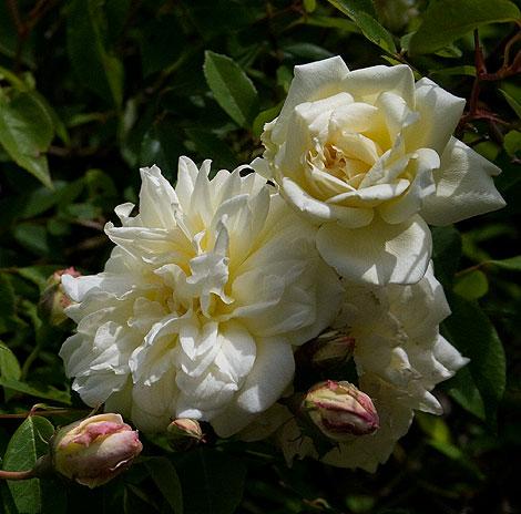 Le-pactole-rose